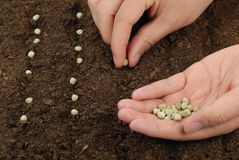 Sowing peas Stock Image