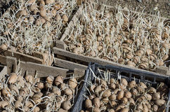 Sowing potatoes in boxes Stock Images