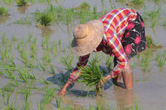 Sowing rice Stock Photos