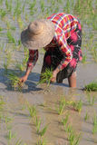 Sowing the rice in Myanmar fields Royalty Free Stock Images