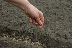 Sowing of seed in earth. Royalty Free Stock Photos
