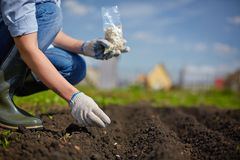 Sowing seed. Image of female farmer sowing seed in the garden Royalty Free Stock Photos