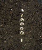 Sowing The Seed Of Life In A Row Of A Garden Royalty Free Stock Photos