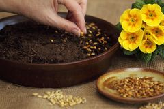 Sowing seeds for Easter green crop Stock Images