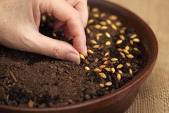 Sowing seeds for Easter green crop Royalty Free Stock Photography