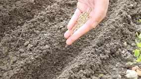 Sowing seeds in row with the hand. Woman planting spinach seeds in the field in row in a brown fertile soil stock video footage