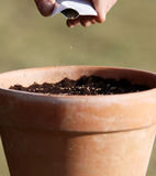 Sowing seeds in to the pot. Sowing persley herbs seeds with hand in to the cheramic pot early in the springtime Stock Photo