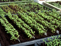 Seedlings for transplanting Royalty Free Stock Photography