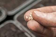 Sowing Tomato Seeds into Soil. Stock Photos