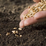 Sowing wheat stock image
