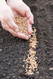 Sowing of wheat in the ground. Agriculture. Stock Image