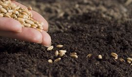 Sowing wheat by hand in home garden royalty free stock photography