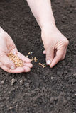 Sowing wheat hands in the earth. Royalty Free Stock Image