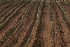 Sown field. Tilt shift view of a brown sown field with green sprouts in tuscany. Narrow depth of field Royalty Free Stock Photography