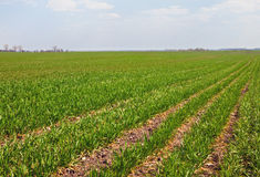 Sown field Stock Photo