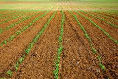 Sown field. Field of maize sown in the south of Portugal Stock Photography