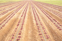 Sown field Royalty Free Stock Image