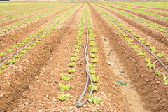 Sown field Royalty Free Stock Photo