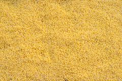 Sown millet Stock Images