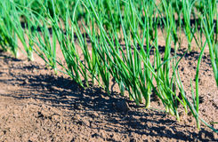 Sown onions plants growing in long rows from close Royalty Free Stock Photo