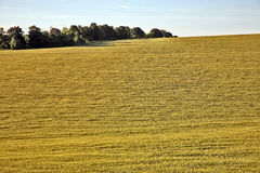 Sown with wheat field on background of the sky. The sown with wheat field on background of the sky Royalty Free Stock Photography