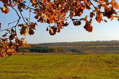 Sown with winter wheat field. Autumn season. Sown with winter wheat field. In the foreground oak branches with autumn foliage yellowed Royalty Free Stock Images