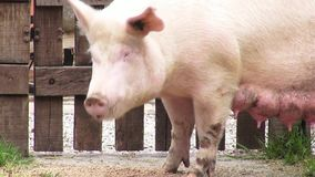 Sows, Swine, Female Pigs, Mothers. Stock video of a sow stock footage