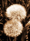 Sowthistle fluff  in field Royalty Free Stock Image