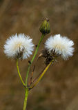 Sowthistle. Two seed heads and a flower bud of Sowthistle Royalty Free Stock Photos