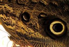 Sowy Caligo eurilochus brasiliensis Motyli skrzydło Zdjęcia Stock