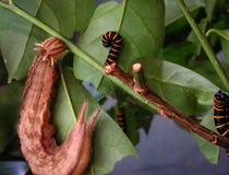 Sowy Caligo Motyli memnon i Themisto Amberwing Methona th Zdjęcia Stock