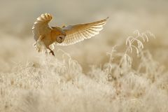 Sowy komarnica z otwartymi skrzydłami Stajni sowa, Tyto albumy, latać above oszrania biała trawa w ranku Przyrody ptasia scena od fotografia stock