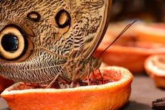 Sowy motyli biesiadowanie przy motylim bufetem Obraz Stock