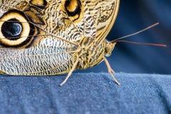 Sowy Motyli obsiadanie na niebiescy dżinsy (Caligo eurilochus, Bananenfalter) Zdjęcie Stock