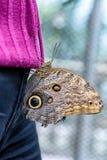 Sowy Motyli obsiadanie na purpurowym pulowerze kobieta (Caligo eurilochus, Bananenfalter) Fotografia Royalty Free