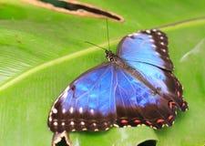 Sowy Motyli odpoczywać pokazywać daleko błękitnego koloryt skrzydła Zdjęcie Royalty Free