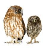 sowy owlet samica Fotografia Royalty Free