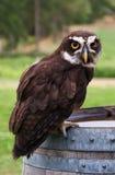 sowy perspicillata pulsatrix pstrzący Zdjęcie Royalty Free
