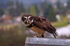 sowy perspicillata pulsatrix pstrzył Zdjęcia Royalty Free