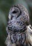 sowy wschodni skrzeczenie Fotografia Royalty Free