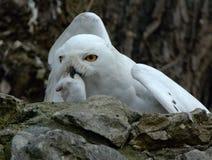 sowy zdobycza śnieg Obraz Royalty Free
