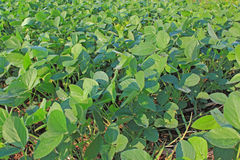 Soy Bean Field Stock Photos