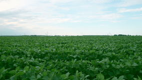 Soy bean field, dolly shot stock footage