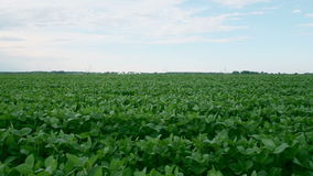 Soy bean field, dolly shot. Video of a soy bean field shot with a slider, 1080p video at 25 fps stock video footage