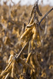 Soy Bean Field Ripe for Harvest Royalty Free Stock Photos
