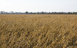 Soy Bean Field Ripe for Harvest Royalty Free Stock Photo