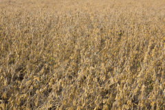 Soy Bean Field Ripe for Harvest Royalty Free Stock Photography