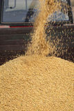 Soy bean harvest, crop pouring Stock Images