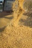 Soy bean harvest Stock Image