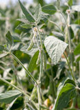 Soy bean plant Stock Images